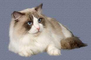 chat munchkin a vendre